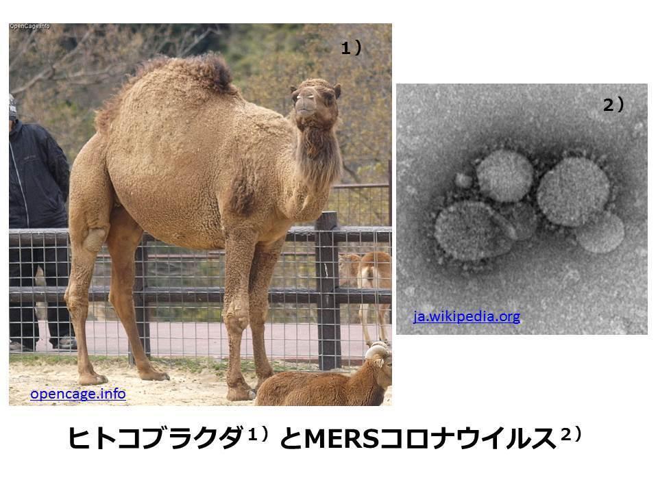 韓国MERSコロナウイルスは米国ペンタゴンの生物兵器研究所から放たれた!(ジャパンタイムズ元編集長 島津洋一)_e0069900_23160071.jpg