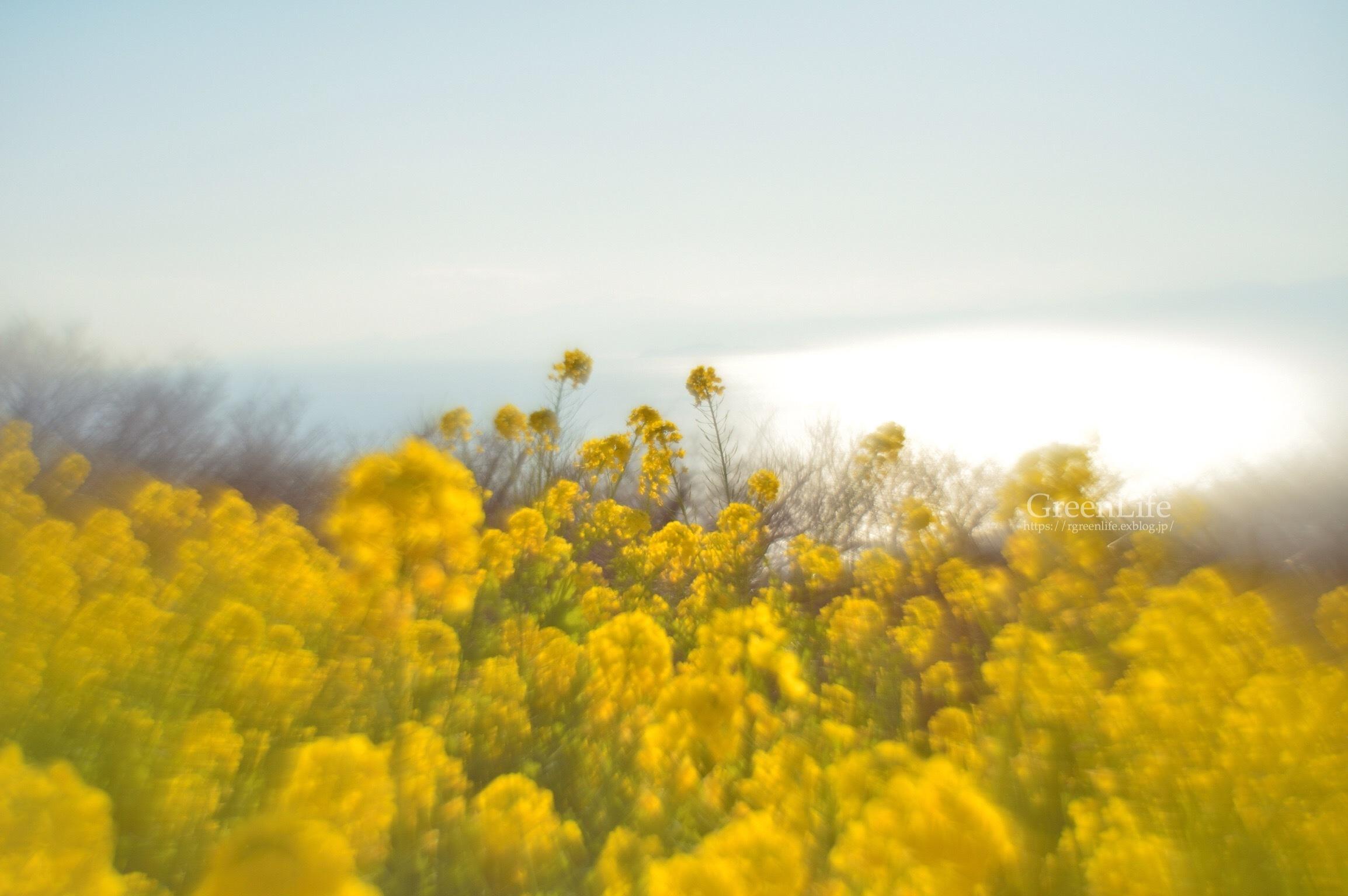 菜の花と海と_f0321522_09383666.jpg