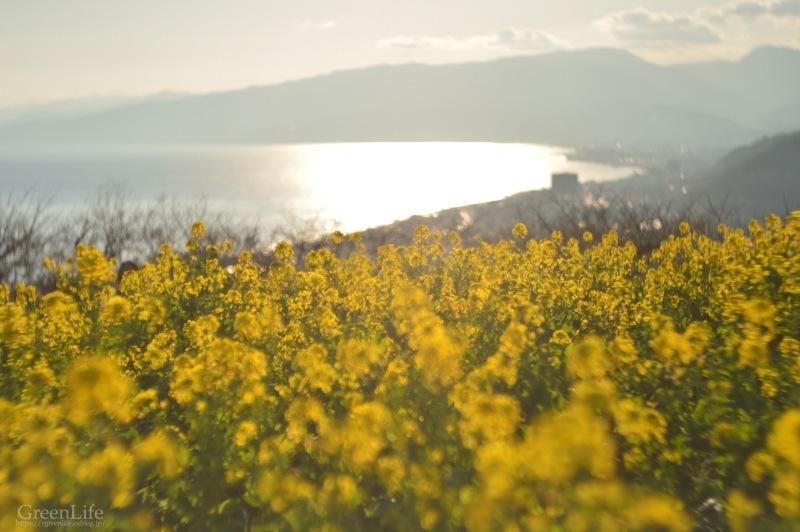 菜の花と海と_f0321522_09421556.jpg