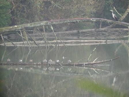 このところ、シメがよくいます。コゲラの巣穴。_a0123836_17343733.jpg