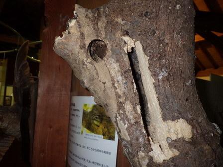このところ、シメがよくいます。コゲラの巣穴。_a0123836_17381988.jpg