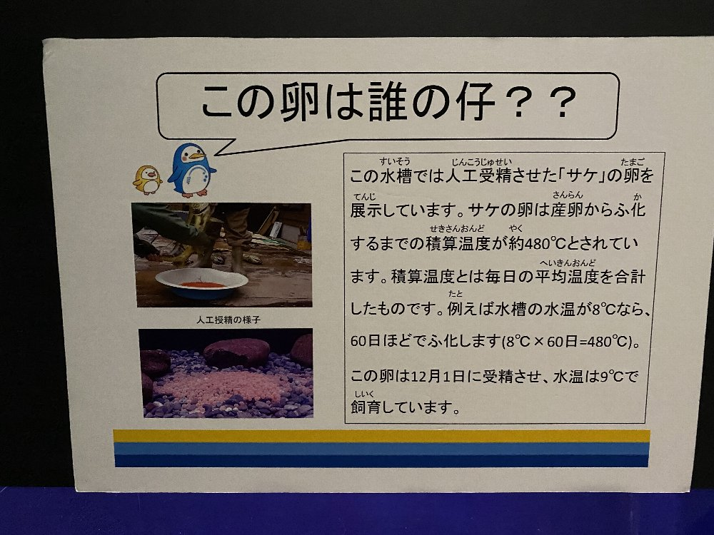 今日の日本海とサケの卵の孵化!_e0065084_21294457.jpg
