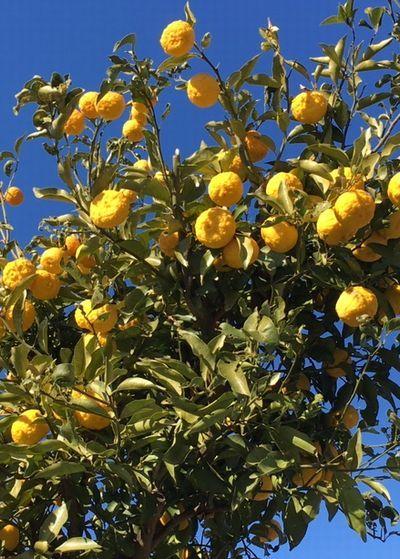 姫柚子の収穫は命がけ!_e0234016_18231716.jpg