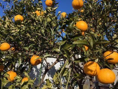 姫柚子の収穫は命がけ!_e0234016_18244815.jpg