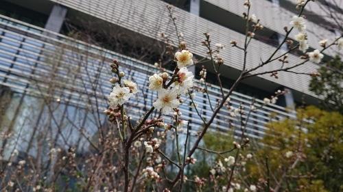 梅は咲いたぞ、サクラはもう少し_c0338136_17431027.jpg