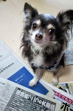 チワワ サンゴちゃん 新聞紙の上が好き_b0213357_12115774.jpg