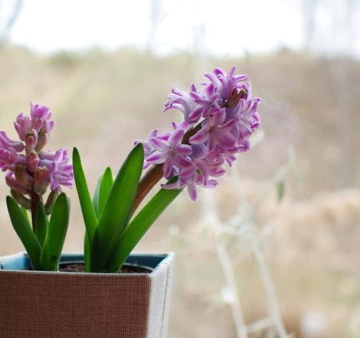 窓辺のヒヤシンスが咲いた。_c0110869_09245735.jpg