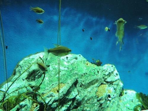 アフリカの魚・・・「イエローコンゴーテトラ」_d0019074_15471214.jpg