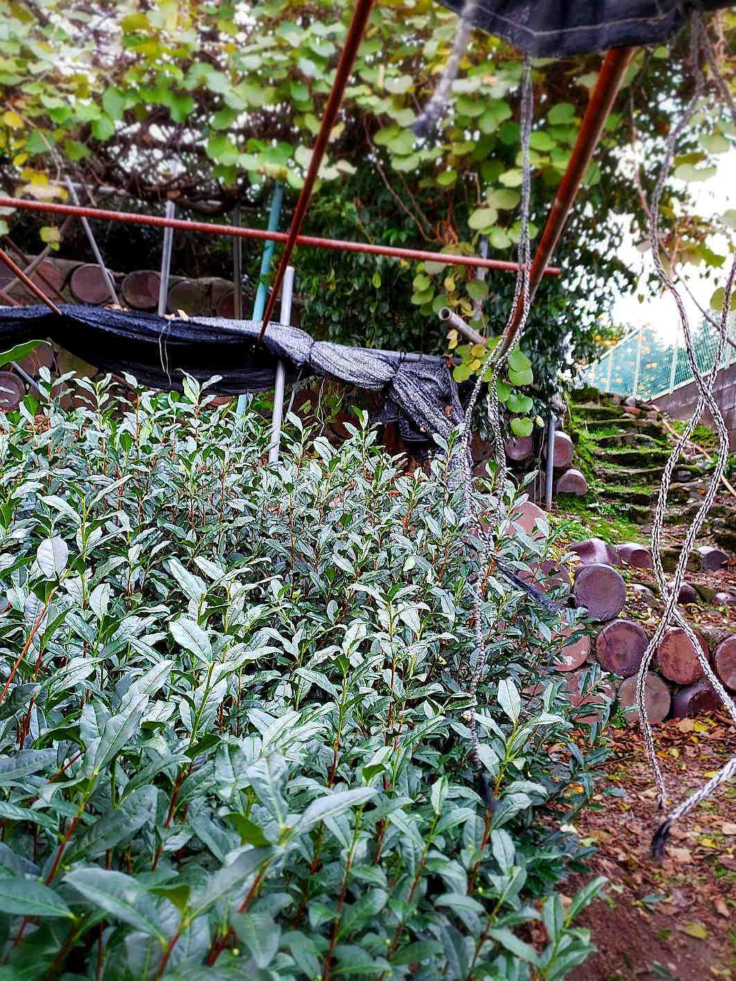 自然に聞き 茶木と対話して新しい茶園をつくる  Courage to build a tea garden in a reclaimed ancient pond_a0391480_20341134.jpg