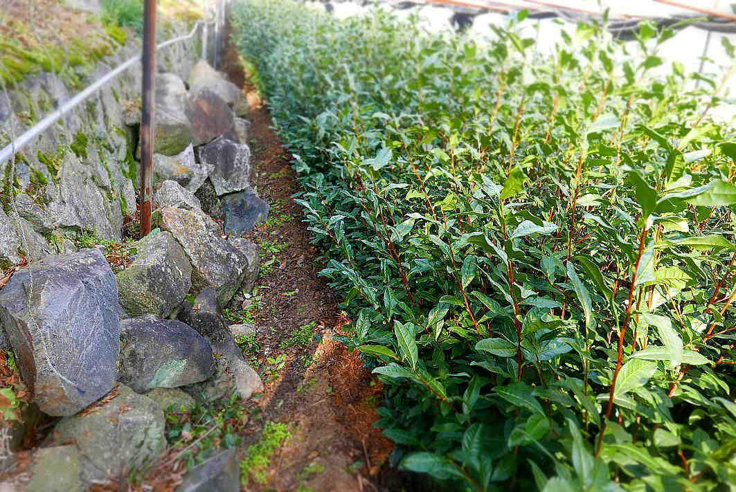 自然に聞き 茶木と対話して新しい茶園をつくる  Courage to build a tea garden in a reclaimed ancient pond_a0391480_20342024.jpg