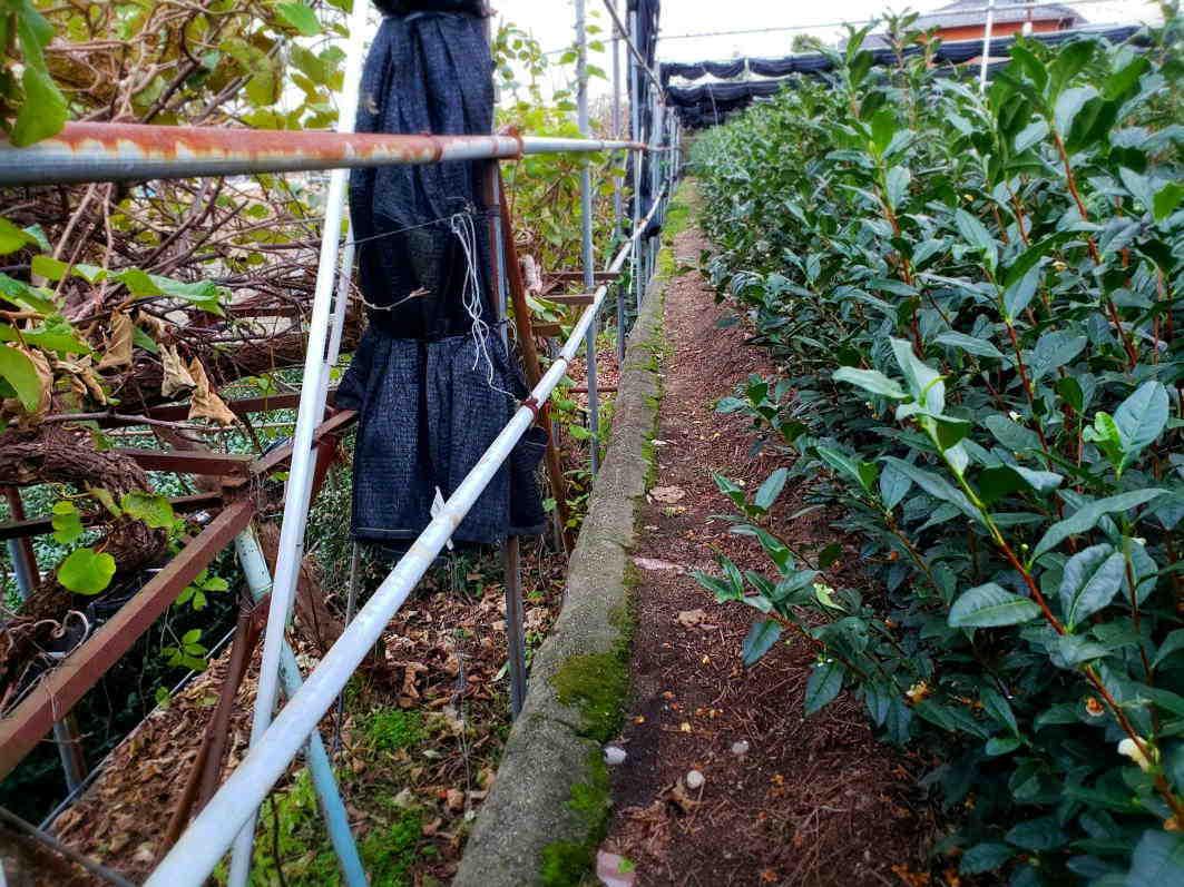 自然に聞き 茶木と対話して新しい茶園をつくる  Courage to build a tea garden in a reclaimed ancient pond_a0391480_20342850.jpg