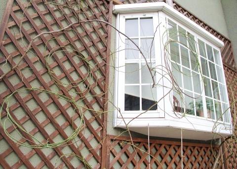 ◆出窓周りの剪定・・・フランソワジュランビル & ルイーズオーディエ_e0154682_00021775.jpg