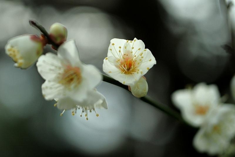 向島百花園の白梅_e0348392_18013855.jpg