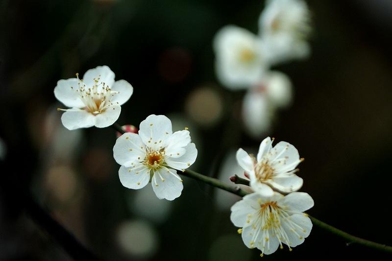 向島百花園の白梅_e0348392_18020015.jpg