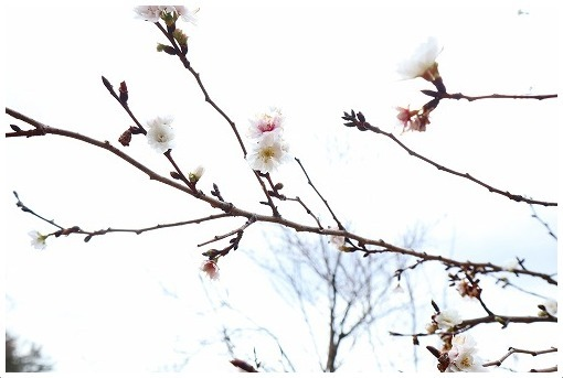 冬桜_a0134114_14141053.jpg