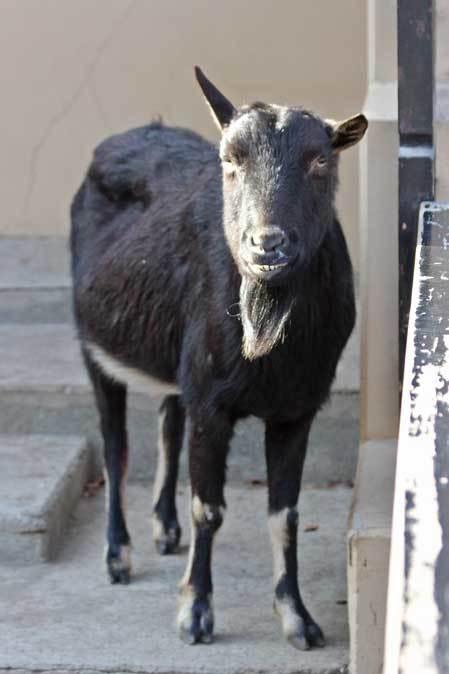 冬の井の頭:クロヤギ「チョコ」と家畜舎の動物たち_b0355317_21451075.jpg