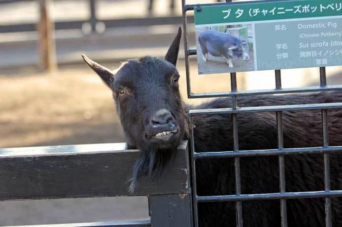 冬の井の頭:クロヤギ「チョコ」と家畜舎の動物たち_b0355317_21461912.jpg