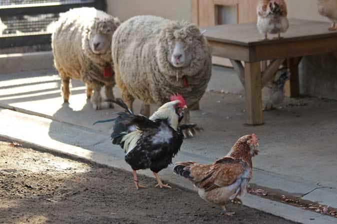 冬の井の頭:クロヤギ「チョコ」と家畜舎の動物たち_b0355317_21505337.jpg