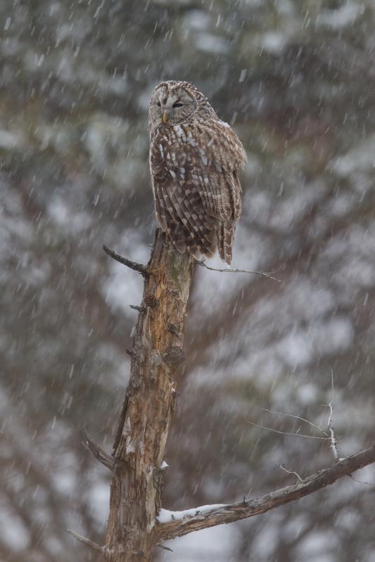 富士山周辺の野鳥・フクロウ_e0200922_23405786.jpg