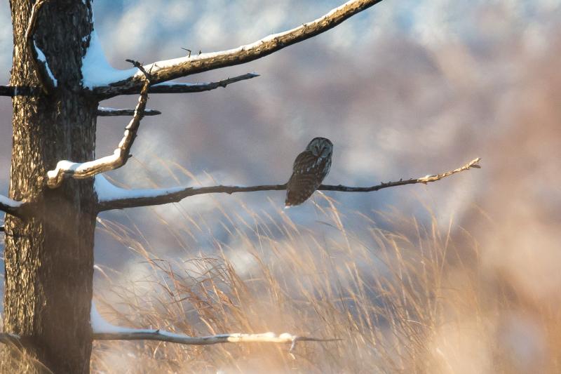 富士山周辺の野鳥・フクロウ_e0200922_23412258.jpg