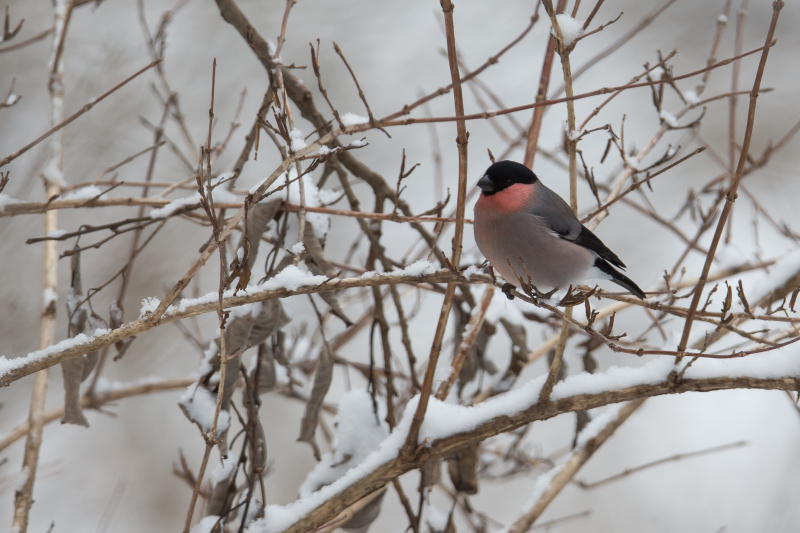 富士山周辺の野鳥・フクロウ_e0200922_23425830.jpg