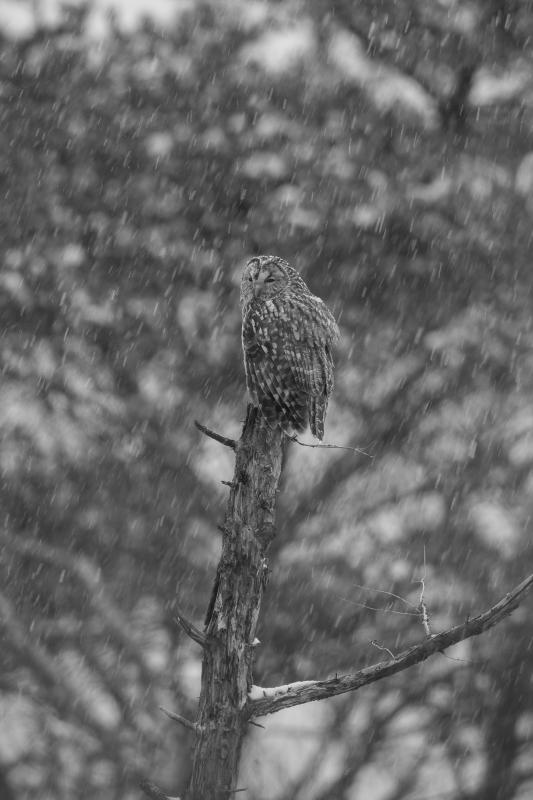 富士山周辺の野鳥・フクロウ_e0200922_23493381.jpg