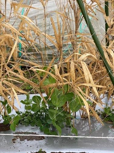 今朝の収穫 ロマネスコ 芽キャベツ オレンジカリフラワー達も収穫していきます_c0222448_11400774.jpg