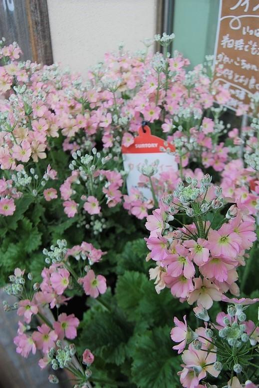 花鉢花苗の入荷。_a0201358_14262143.jpg
