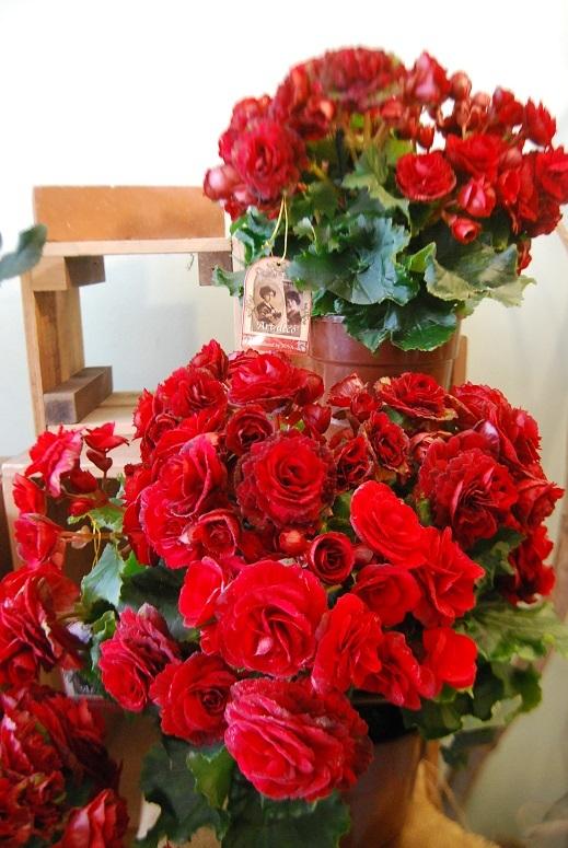 花鉢花苗の入荷。_a0201358_14294155.jpg