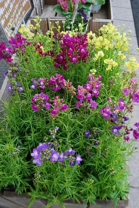 花鉢花苗の入荷。_a0201358_14323258.jpg
