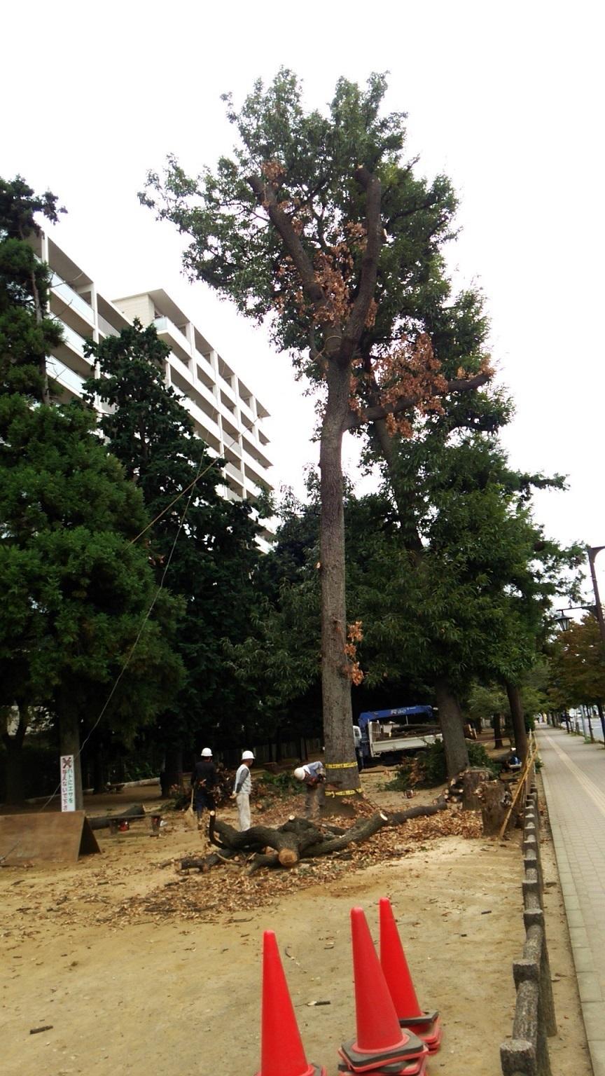 福岡中央公園のクヌギ_a0107574_19473503.jpg