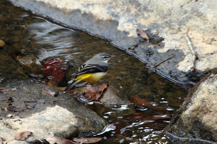 里山での探鳥で出会えた鳥たち(キセキレイ&ミソサザイ)_f0239515_16172654.jpg