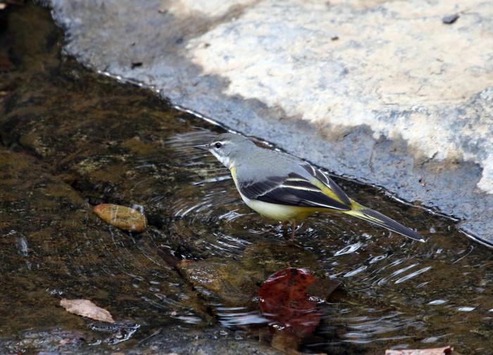 里山での探鳥で出会えた鳥たち(キセキレイ&ミソサザイ)_f0239515_16175491.jpg