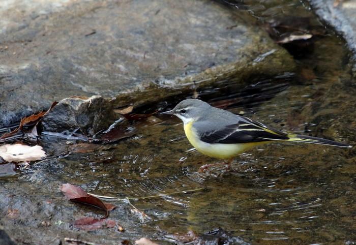 里山での探鳥で出会えた鳥たち(キセキレイ&ミソサザイ)_f0239515_16181612.jpg