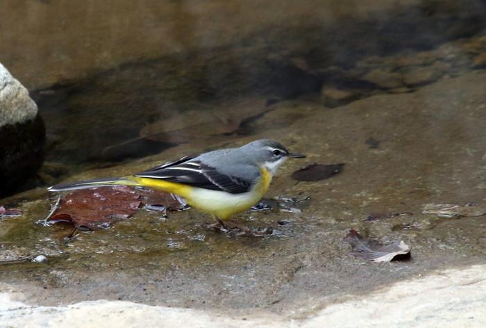 里山での探鳥で出会えた鳥たち(キセキレイ&ミソサザイ)_f0239515_16183464.jpg