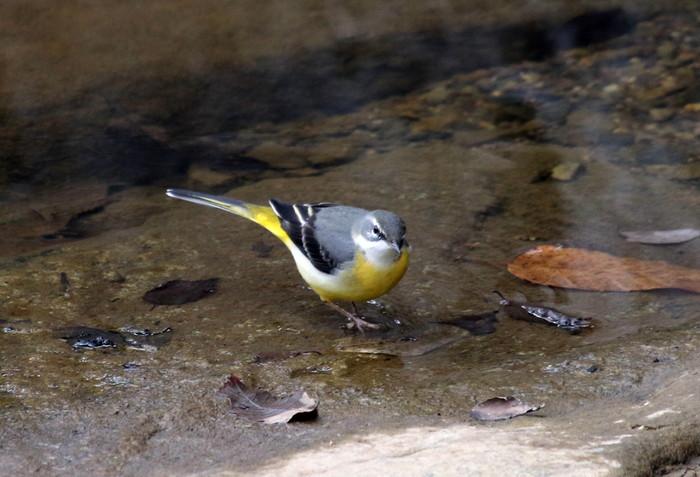 里山での探鳥で出会えた鳥たち(キセキレイ&ミソサザイ)_f0239515_1618551.jpg