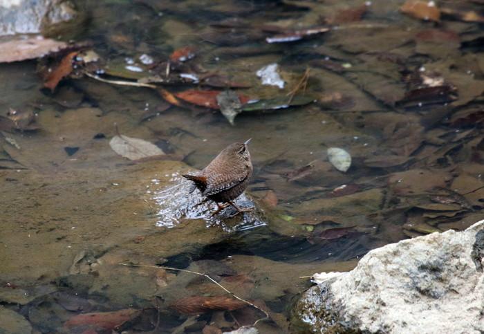 里山での探鳥で出会えた鳥たち(キセキレイ&ミソサザイ)_f0239515_16225929.jpg