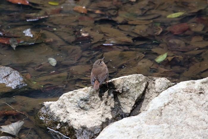 里山での探鳥で出会えた鳥たち(キセキレイ&ミソサザイ)_f0239515_162293.jpg