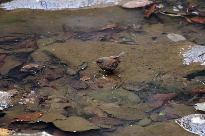里山での探鳥で出会えた鳥たち(キセキレイ&ミソサザイ)_f0239515_16232493.jpg
