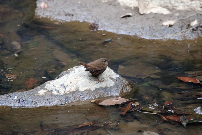 里山での探鳥で出会えた鳥たち(キセキレイ&ミソサザイ)_f0239515_16234711.jpg