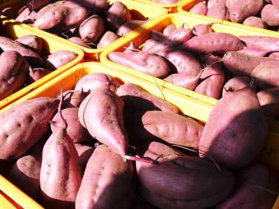熊本産大津甘藷『からいも(サツマイモ)』の販売に向け、生産農家を現地取材(前編)_a0254656_17482567.jpg