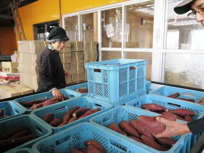 熊本産大津甘藷『からいも(サツマイモ)』の販売に向け、生産農家を現地取材(前編)_a0254656_18044887.jpg