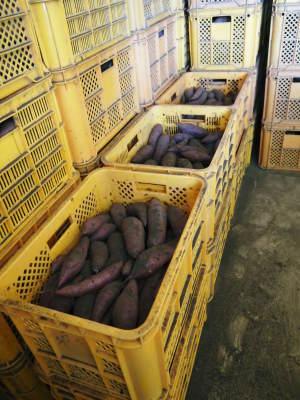 熊本産大津甘藷『からいも(サツマイモ)』の販売に向け、生産農家を現地取材(前編)_a0254656_18475872.jpg