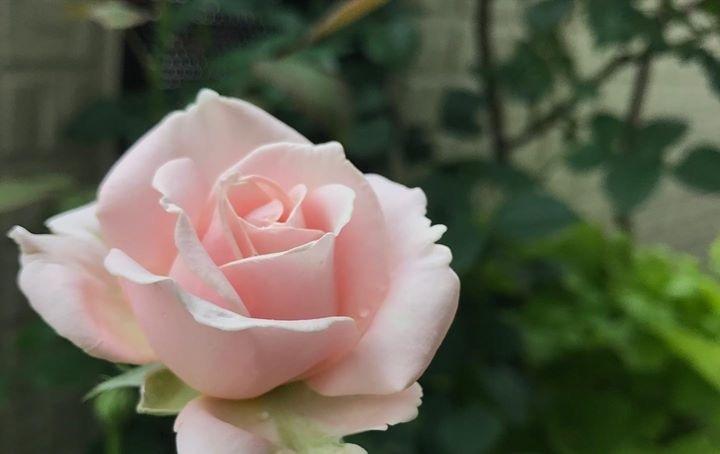 お手本のバラ...♪*゚_f0372557_15084288.jpeg