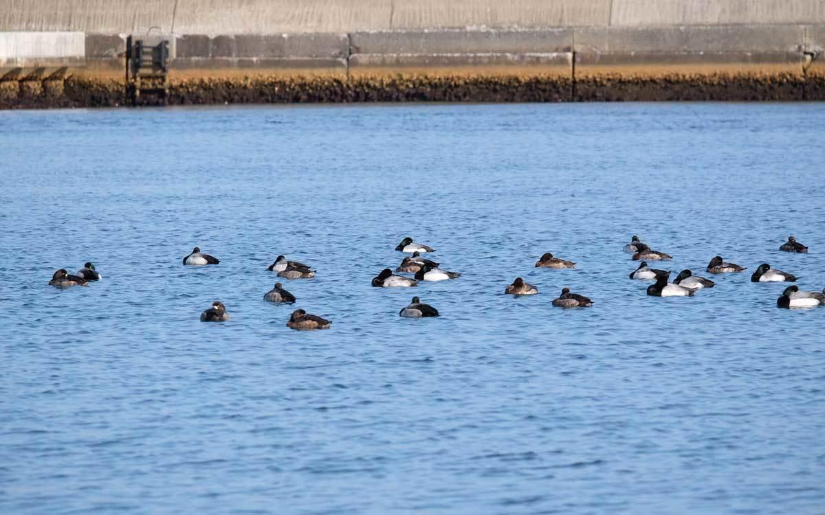 水鳥を求めて漁港巡り_e0220159_17542660.jpg