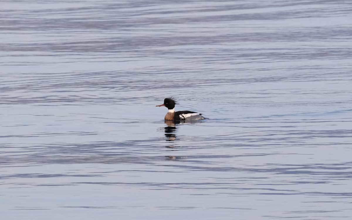 水鳥を求めて漁港巡り_e0220159_17584441.jpg