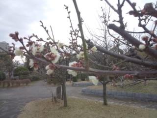 早咲きの梅2020_c0122270_22394054.jpg