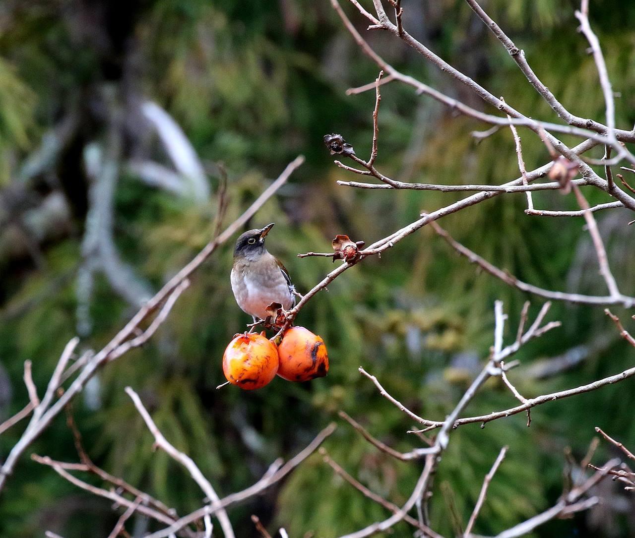 山の柿は野鳥のレストラン(その1)・・・_c0213607_22451737.jpg