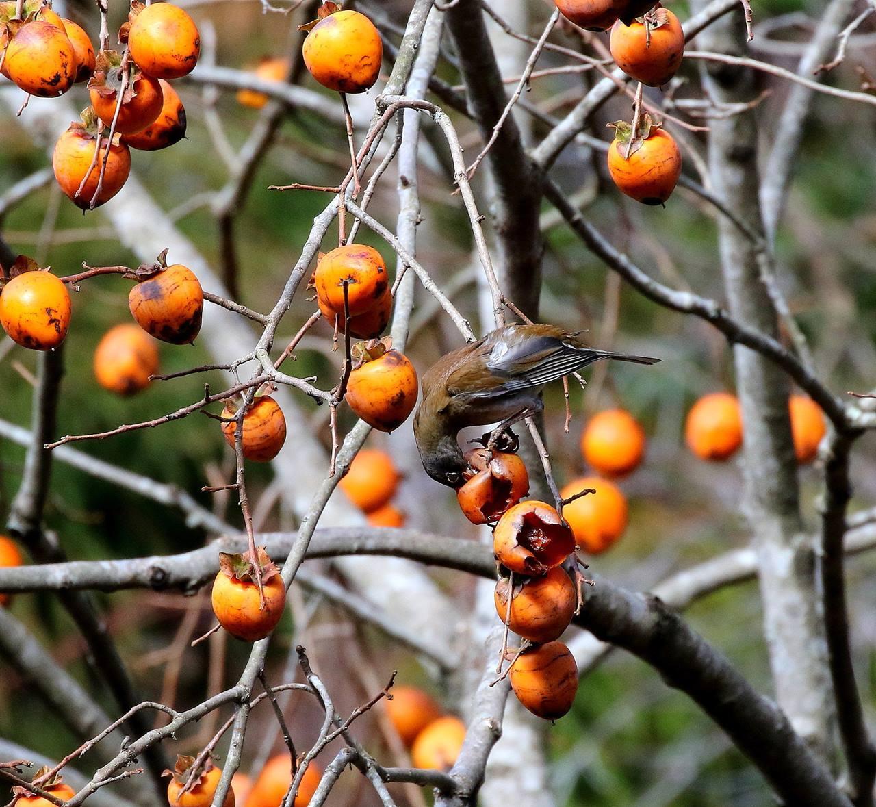 山の柿は野鳥のレストラン(その1)・・・_c0213607_22452360.jpg