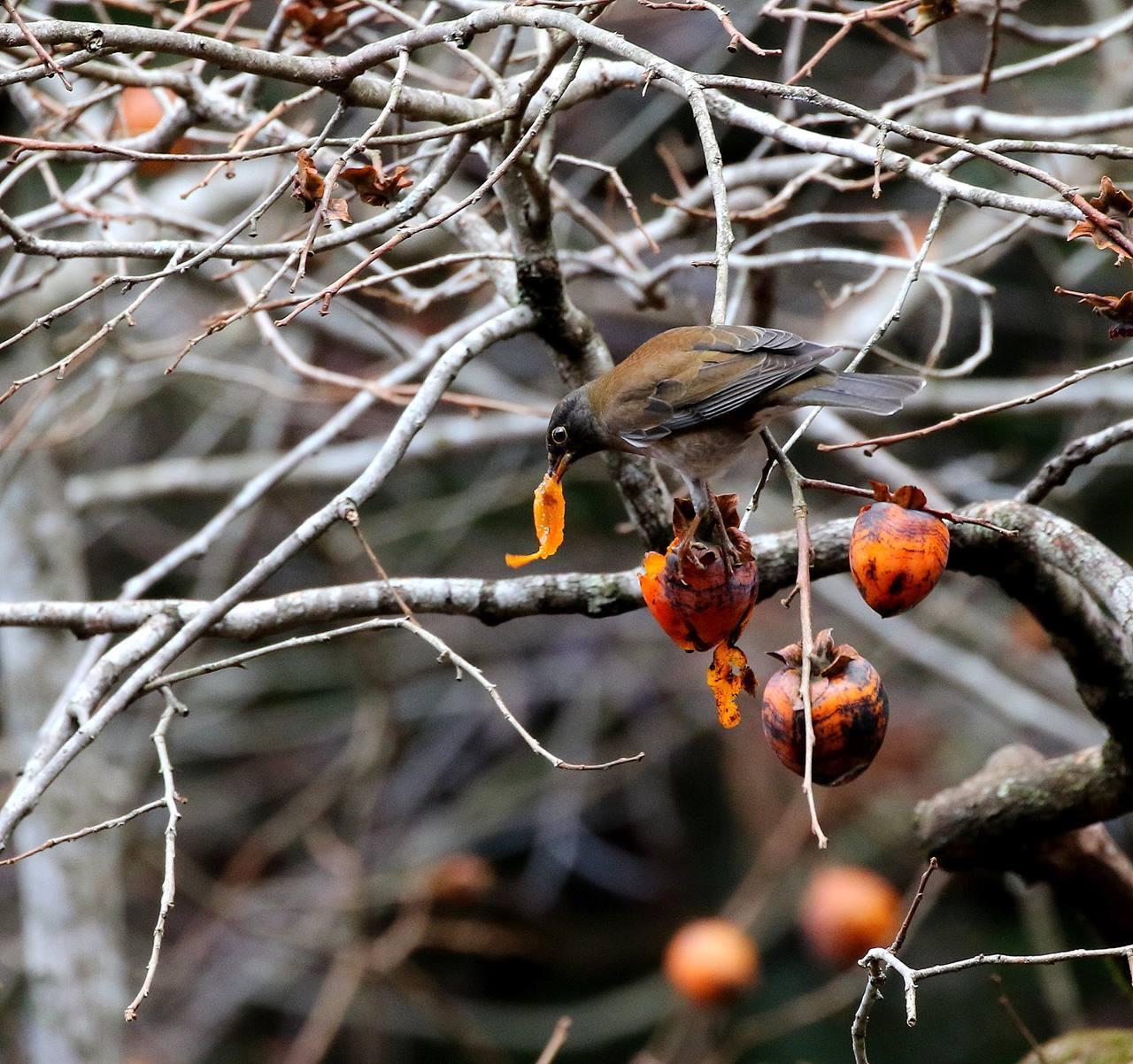 山の柿は野鳥のレストラン(その1)・・・_c0213607_22452712.jpg